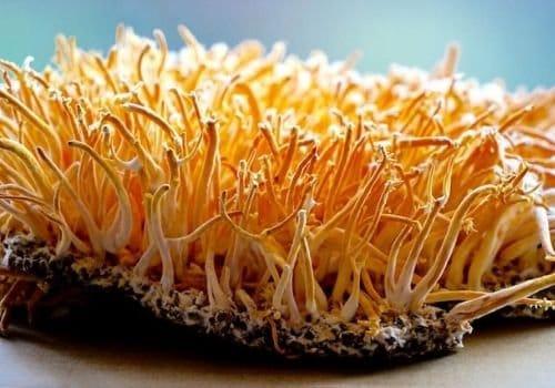 Cordyceps militaris mushrooms