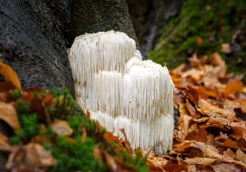 Lion's Mane in nature