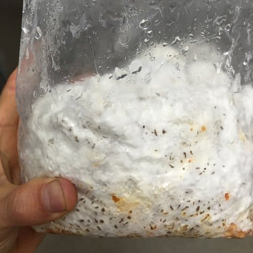 Myceliated grain
