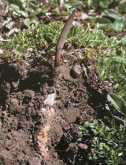 Cordyceps mushrooms growing