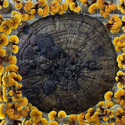 Giant reishi mushroom