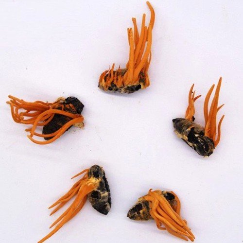 Fungal pesticides - Cordyceps