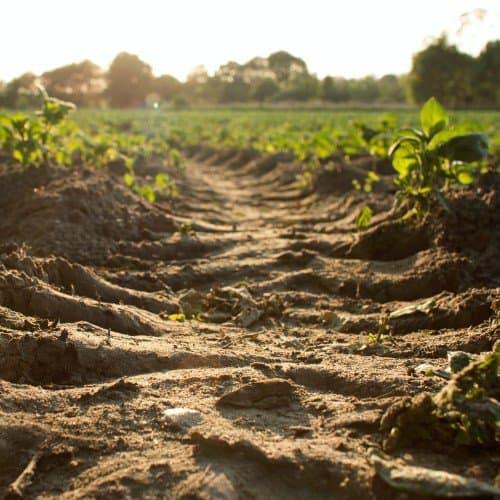Mycoremediation of soil