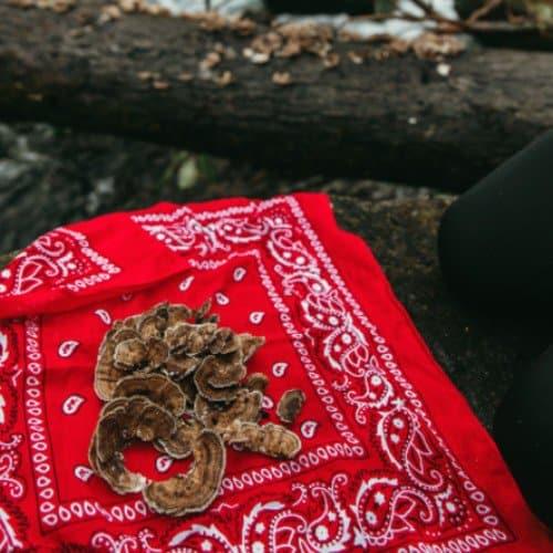 Turkey tail mushrooms are an effective mycoremediator